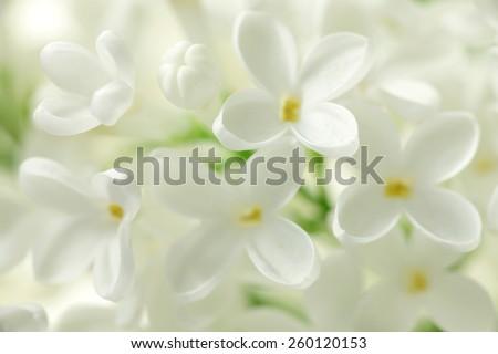 White lilac flowers background / Syringa vulgaris - stock photo