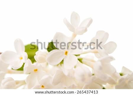 white lilac on a white background - stock photo