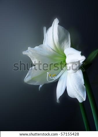 white lilia - stock photo