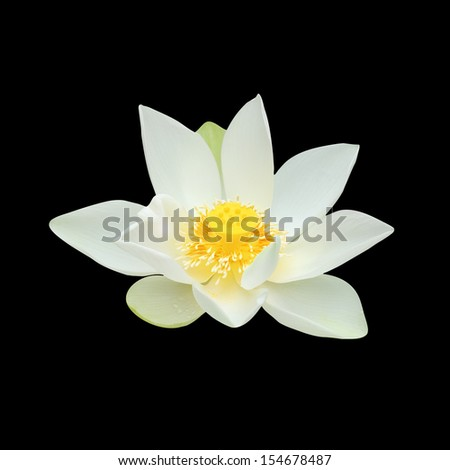 White lilies on a black background. - stock photo