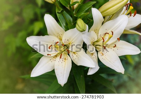 white lily field - stock photo