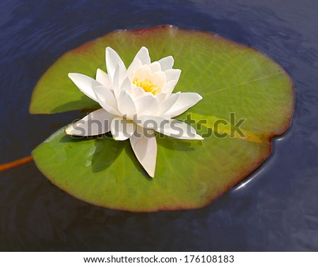 white lily floating on a blue water  - stock photo