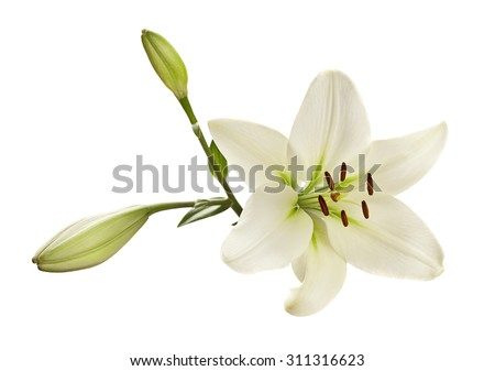 White lily flower head closeup isolated - stock photo