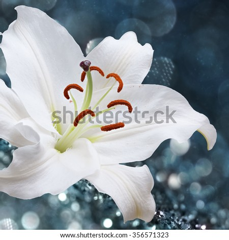 White lily flower on background with bokeh effects. - stock photo
