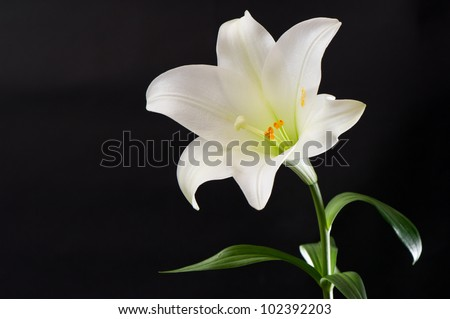 white lily flower on black background - stock photo