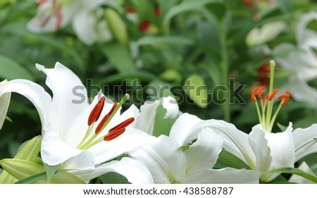 White Lily flowers in full bloom - stock photo