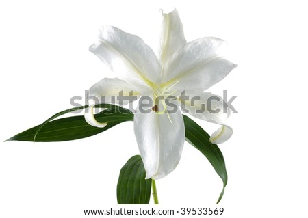 White lily isolated on white - stock photo