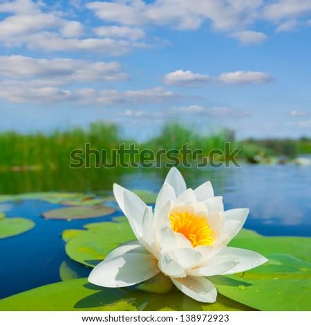 white lily on a lake - stock photo