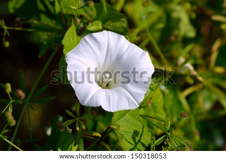 White lily on green background - stock photo