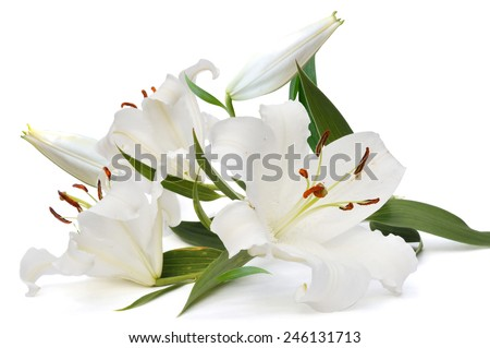 white lily  on white background and buds - stock photo