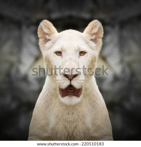 White lion face close up - stock photo