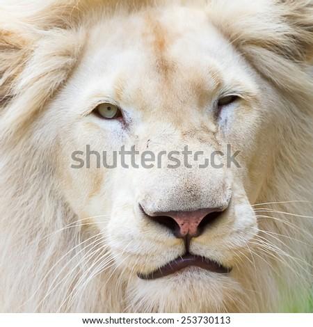 White Lion in the wild - stock photo