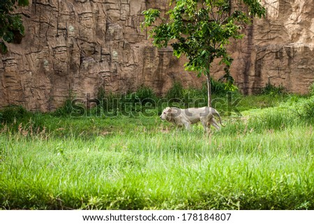 white lion in the zoo - stock photo