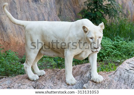 White lion in zoo - stock photo