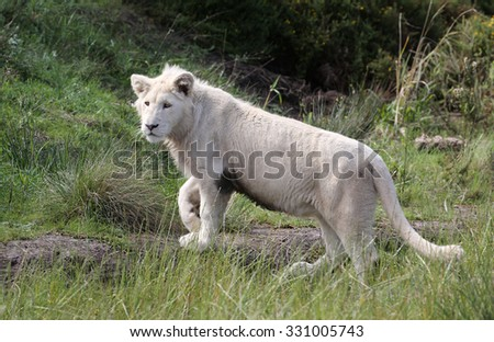 white lion, South Africa. - stock photo