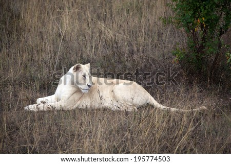 White lioness lying in the grass - stock photo