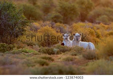 White Lions - stock photo