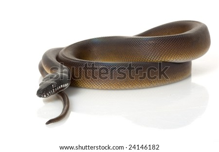 White-lipped Python (Leiopython albertisii) isolated on white background. - stock photo