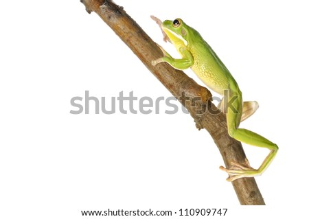 White Lipped Tree Frog climbing a branch on a white background. - stock photo