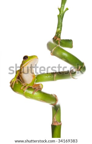 White-lipped tree frog or Litoria Infrafrenata isolated on bamboo branch - stock photo