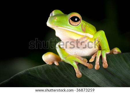White-lipped tree frog or Litoria Infrafrenata sitting on a banana leaf - stock photo