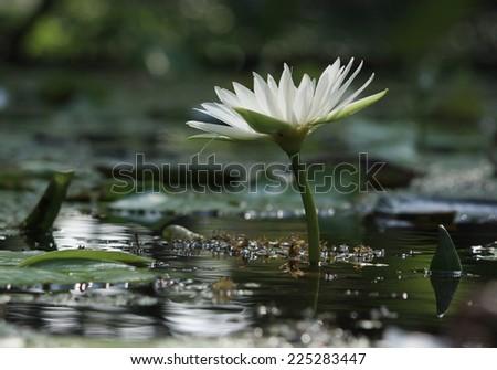 white lotus blooming - stock photo