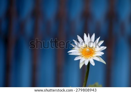 white lotus blossoms or water lily flowers blooming  - stock photo