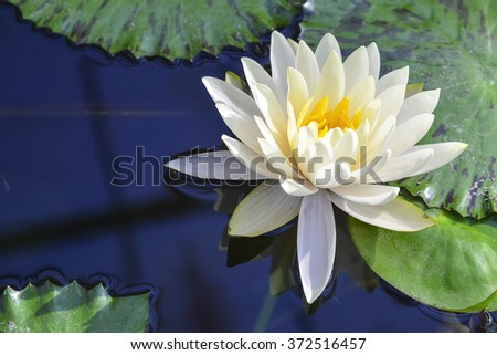 white lotus flower blooming  in the pond reflection with the water - stock photo