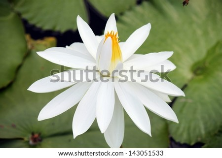 white lotus flower blossom opening up petals - stock photo