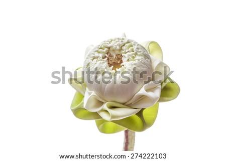 White lotus flower on white background - stock photo