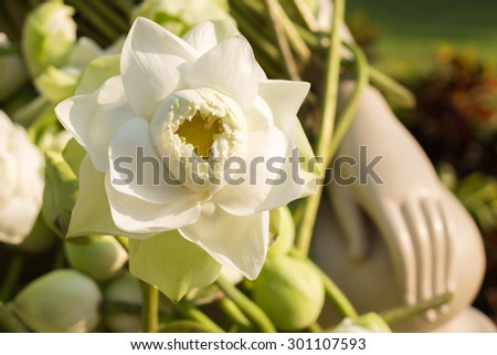 White lotus flower; The lotus is one of the most well-known symbols of Buddhism. White Lotus this represents the state of spiritual perfection and total mental purity. - stock photo