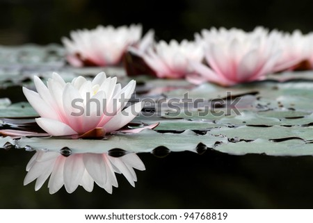 White lotus flowers on the pond, close up - stock photo