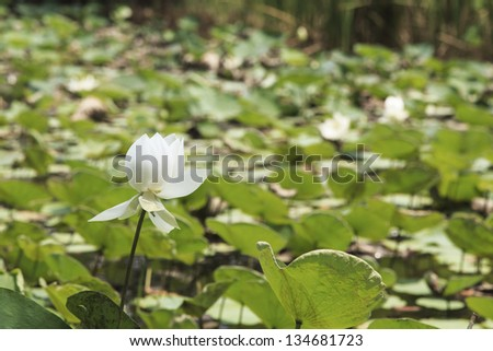white lotus in a pond - stock photo