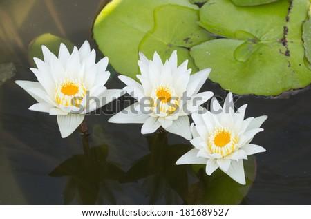 White lotus in a pond - stock photo