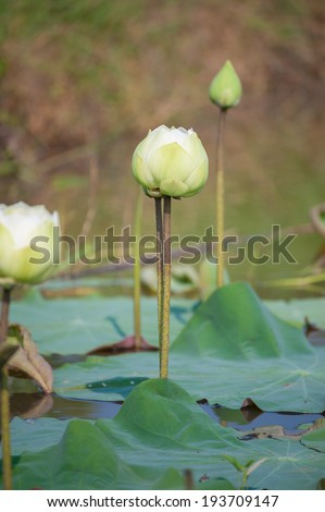 White lotus in the lake with natural background - stock photo