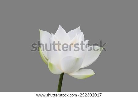 White lotus isolated on gray background - stock photo