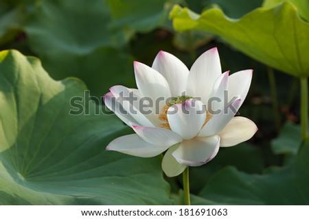 White lotus lily flower - stock photo