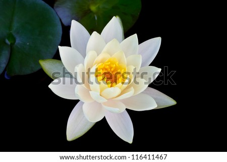 White lotus on black isolated background - stock photo