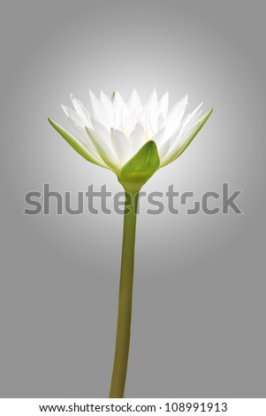 white lotus on grey background (clipping path) - stock photo
