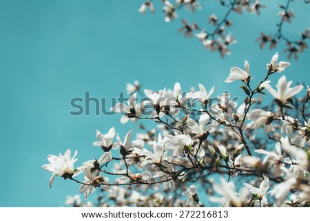 White Magnolia flowers, blue sky background. - stock photo