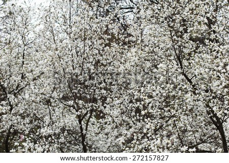 White magnolia for a background - stock photo