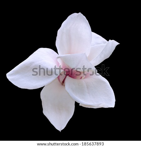 White magnolia isolated on black - stock photo