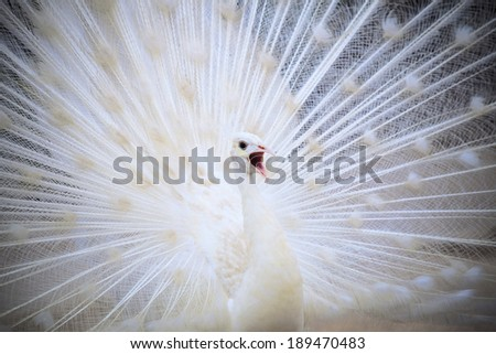 white male indian peacock with beautiful fan tail plumage feather showing for breeding to female and loudness single open mouth - stock photo