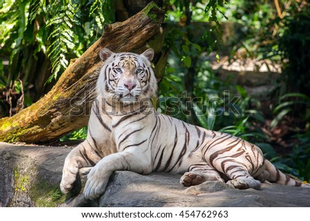 White male tiger in the zoo - stock photo