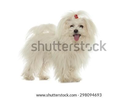 White Maltese dog isolated on white background - stock photo