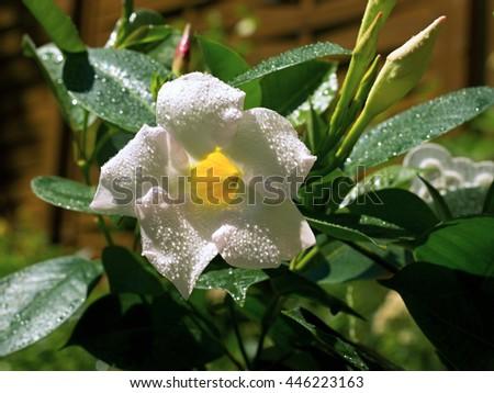 White Mandevilla in a pot - stock photo