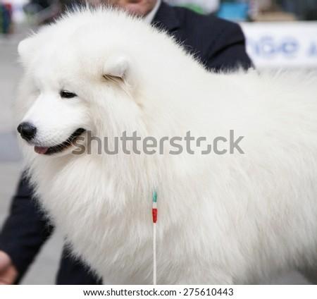 White Maremman sheepdog, portrait, square image - stock photo