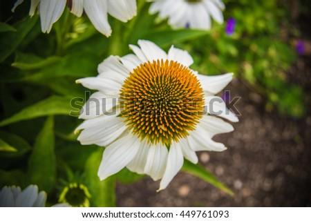 White marguerite daisy flower - stock photo