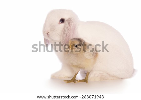 White Mini lop bunny rabbit with ameraucana chick isolated on white background - stock photo
