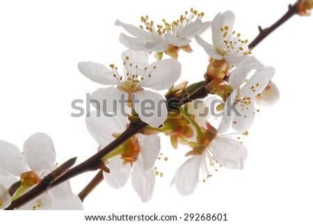 white mirabel bloom - stock photo